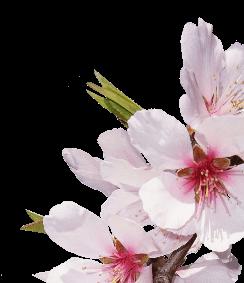 Kimono Kirschblüten