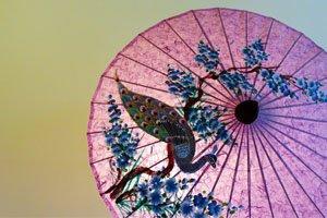 Ein Pinker Japanischer Regenschirm mit einem Pfau als Motiv. Der Pfau steht vor einem dünnen Baum mit Blauen Blüten und Blumen.
